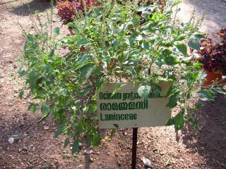 Ossimum gratissimum;Lamiaceae