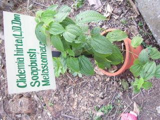 Clidemia hirta;Melastomataceae