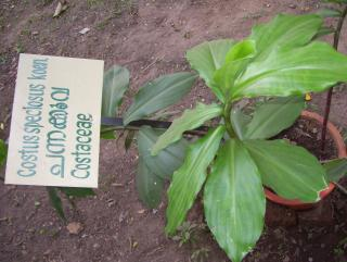 Costus speciosus;Costaceae
