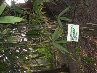 Dendrocalamus giganteus;Poaceae